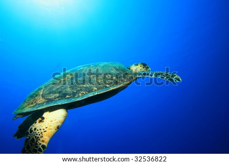 Turtle in Blue Water - stock photo