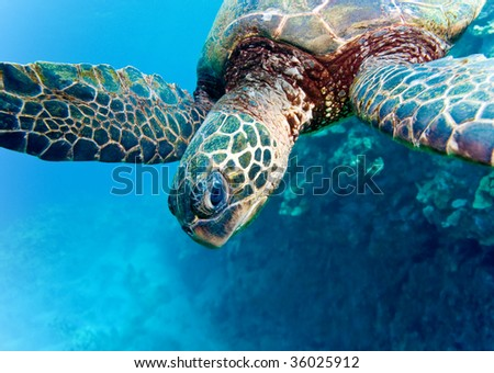 turtle in clear blue maui waters - stock photo