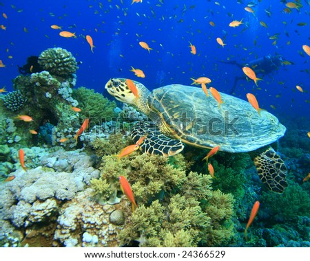 Turtle in cloud of Fairy Basslets with Scuba Diver in Background - stock photo