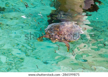 Turtle in Maldives lagoon