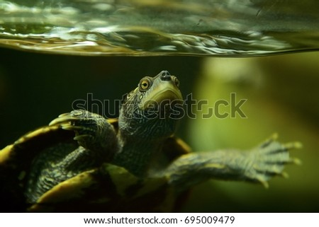 Turtle in Motion under Water