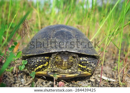 Turtle in the grass. Tortoise hiding in shell. - stock photo