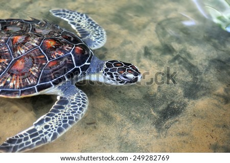 Turtle in the wild on the island. Sri Lanka - stock photo