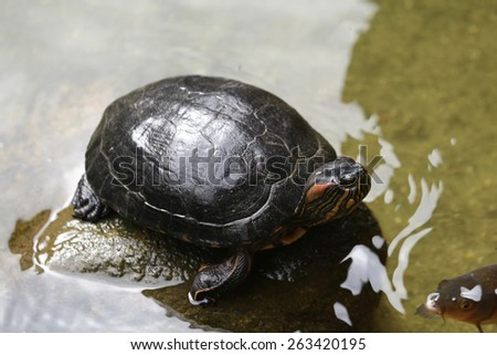 turtle in water, your natural habitat - stock photo