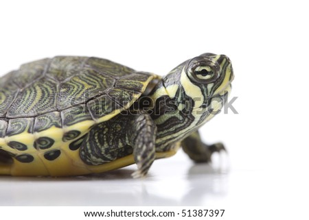 Turtle - isolated on white - stock photo