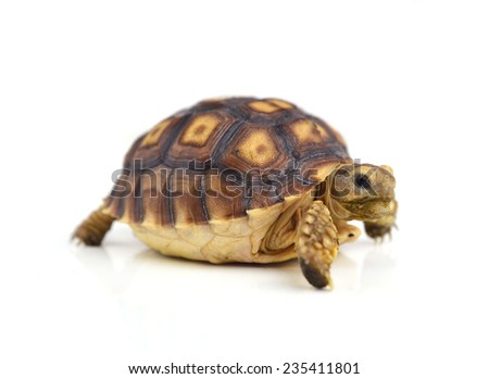 turtle isolated on white background - stock photo
