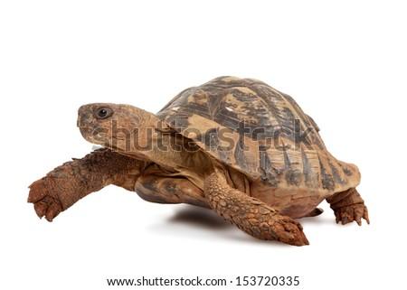 turtle isolated on white background, studio shot - stock photo