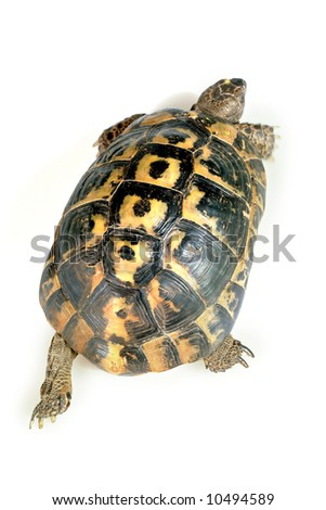 turtle  isolated on white wolking away - stock photo