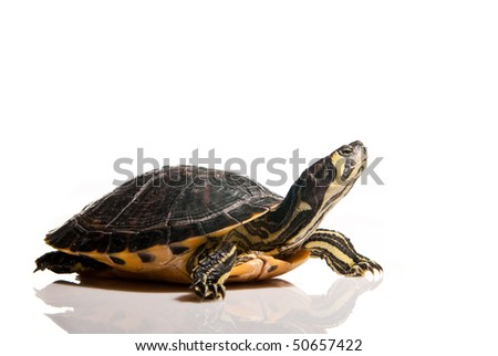 turtle isolated over white with copy space - stock photo