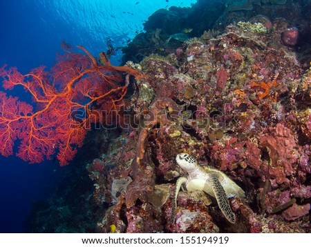Turtle on a coral reef at Bunaken, Indonesia - stock photo
