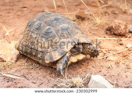 Turtle on the ground in wildlife. Morocco - stock photo
