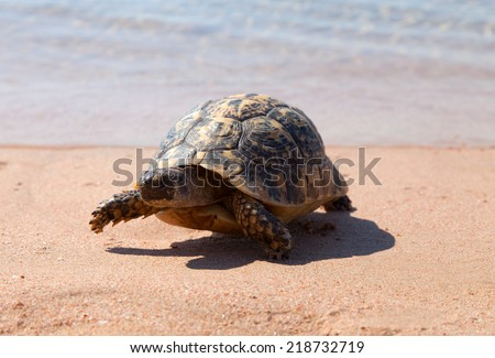Turtle on the sandy beach.Egypt. Red Sea - stock photo