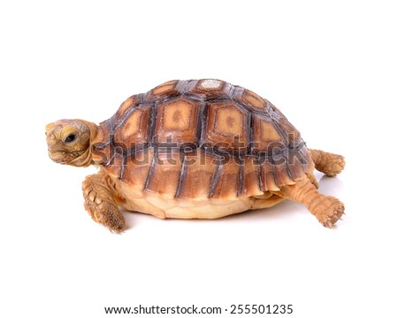 turtle on white background - stock photo
