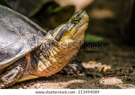 Turtle proud look ahead. - stock photo