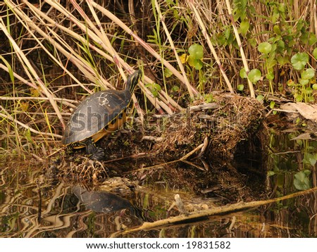Turtle resting in the Florida Everglades - stock photo