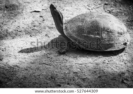 Turtle slowly crawl or walk on the ground and lift its beck and head up in black and white