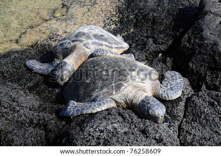 Turtle snuggling on lava rock off the coast of Hawaii