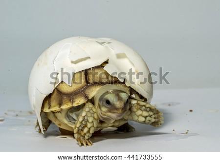 Turtle,Sulcata tortoise, African spurred tortoise  - stock photo