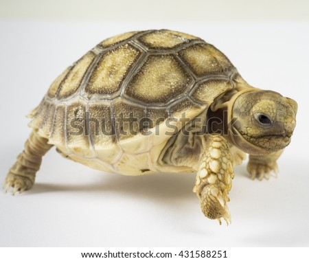 Turtle,Sulcata tortoise, African spurred tortoise (Geochelone sulcata),isolated on white background - stock photo