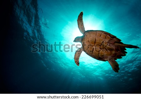 Turtle swiming over divers - stock photo