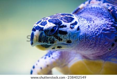 Turtle swimming - stock photo