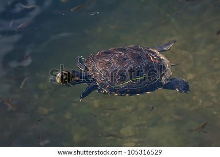 turtle swimming in the Amazon River - stock photo