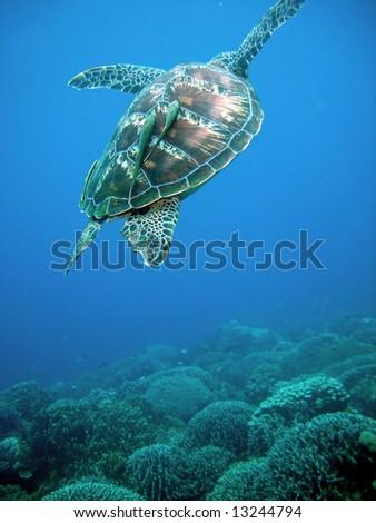 Turtle swims away - stock photo