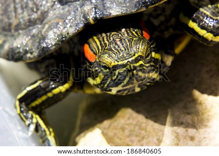 Turtle terrapin on water - stock photo