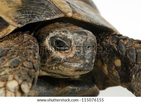 Turtle Testudo hermanni tortoise - stock photo