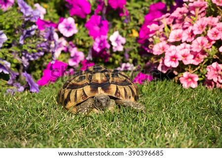 Turtle Testudo hermanni tortoise in the garden - stock photo