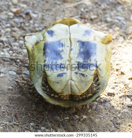 Turtle Turned Upside Down, Hides in its Shell. Testudo Hermanni, Hermann's Tortoise. - stock photo