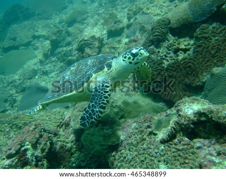 Turtle underwater in Thailand, Asia