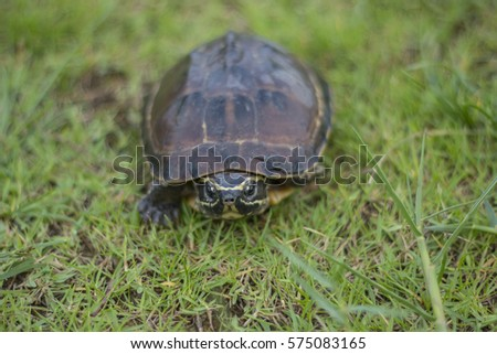 Turtle walk in grass background, Thailand.