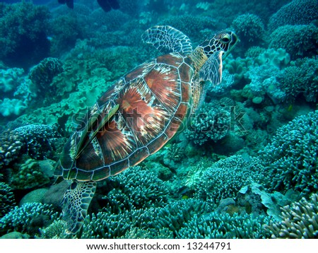 Turtle with Remora - stock photo