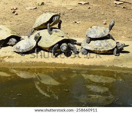 Turtles at the pond - stock photo