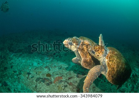 Turtles fighting underwater - stock photo