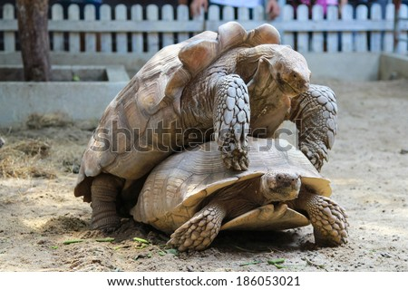 turtles have sex - stock photo