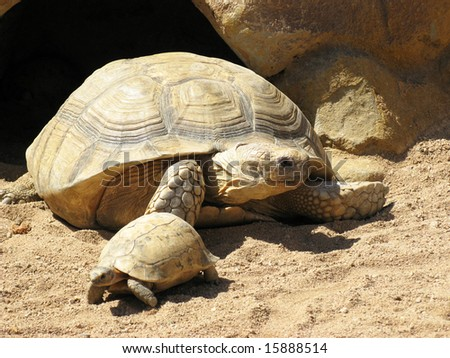 Turtles in desert
