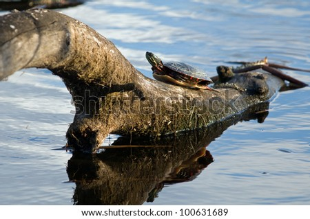 Turtles in evening light