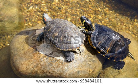 Turtles on the stones in the water