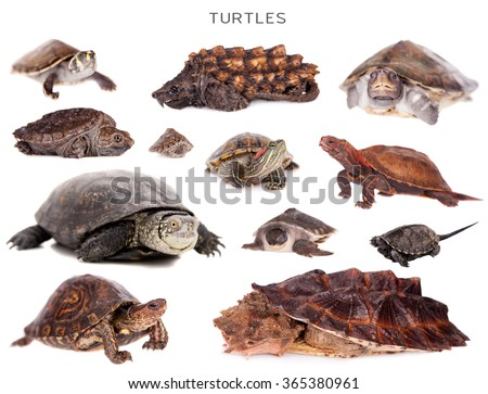 Turtles set isolated on white background - stock photo