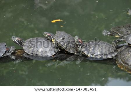 Turtles sunbathing - stock photo