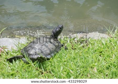 turtles ,Turtles on the tree,beautiful turtles. turtle sunning on lakeside. - stock photo