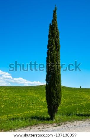 Tuscan Cypress, Tuscany, Italy - stock photo