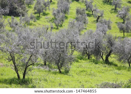 tuscan olive cultivation