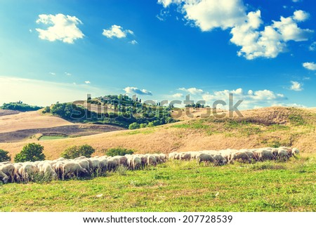 Tuscan sheep on green grass in the background of a beautiful landscape, Italy - stock photo
