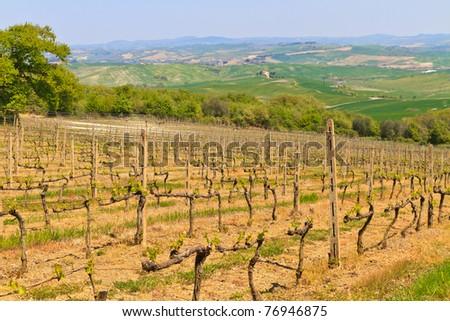 Tuscan vineyard near Montalcino (Brunello), Tuscany, Italy - stock photo