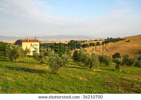 Tuscana countryside with olives - stock photo