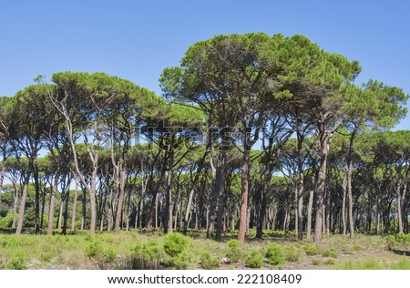 Tuscany forest landscape with parasol pines, Italy - stock photo