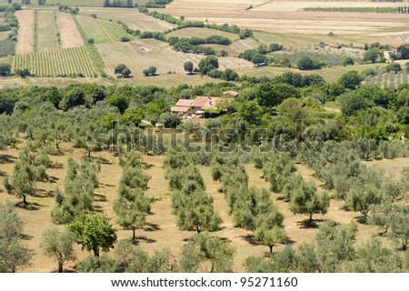 Tuscany (Italy), landscape at summer with cultivated fields and olive trees